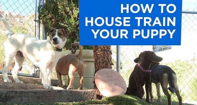 CГіmo housetrain su cachorro