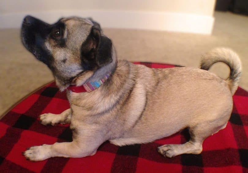 collar de perro hecha en casa para el perro de juguete