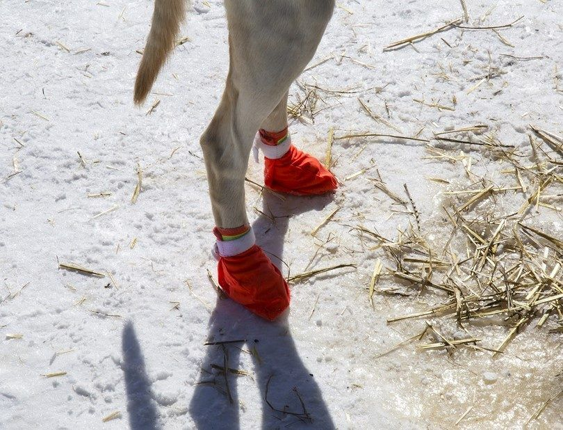 botines perro traseros