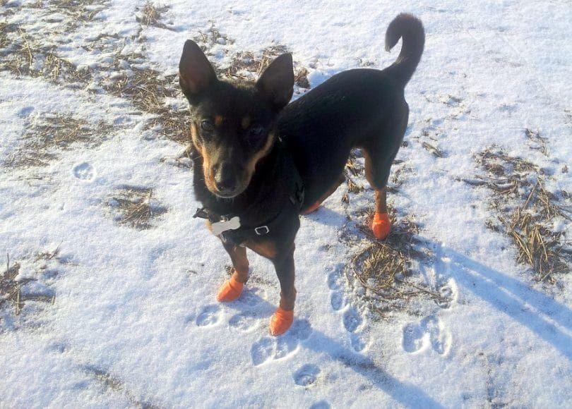 Perro Botas desechable, reutilizable, a prueba de agua Pawz