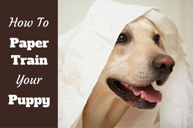 Cómo entrenar a un cachorro de papel - un labrador jugando con el papel higiénico