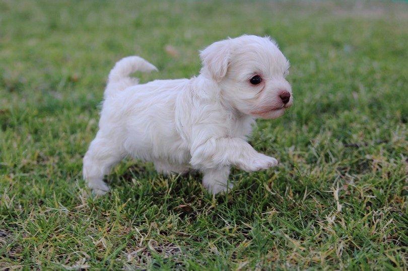perrito del caniche francés