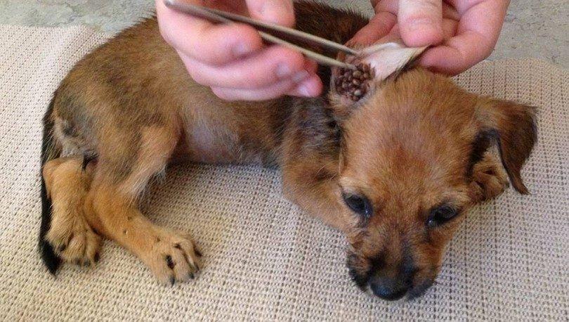 Cómo quitar una garrapata de un perro: parásitos y su perro