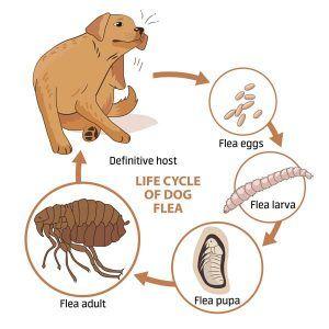 Un ciclo de vida de las pulgas