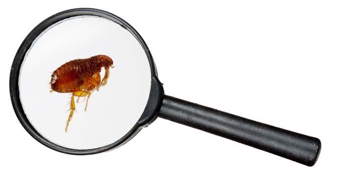 Una foto de una pulga - lo que parece