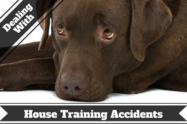 Cómo quitar las manchas y olores de mascotas - Un laboratorio de chocolate con cara de tristeza