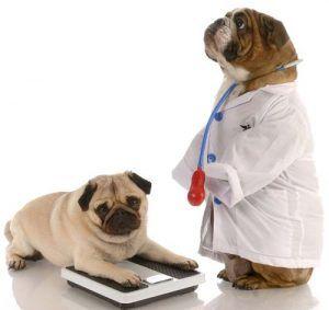 Cómo delgados Perros grasa hacia abajo y empezar una dieta de perro