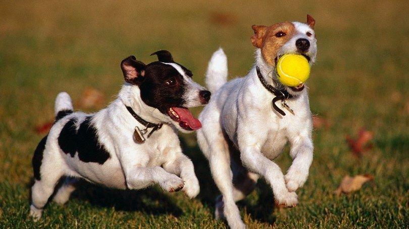 Happy perros jugando juntos