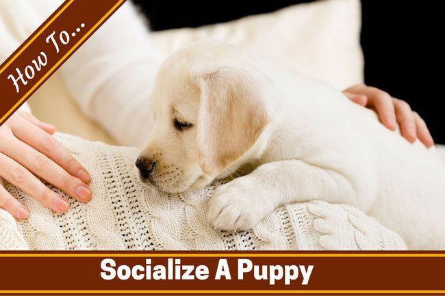 Cómo socializar a un cachorro por escrito a través de un cachorro de laboratorio en una manta blanca de señora`s lap