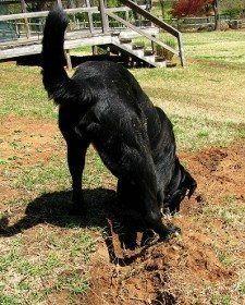 Un labrador negro en el medio de la excavación de una zanja en un jardín