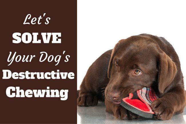 Cómo detener a un cachorro o un perro de la masticación destructiva