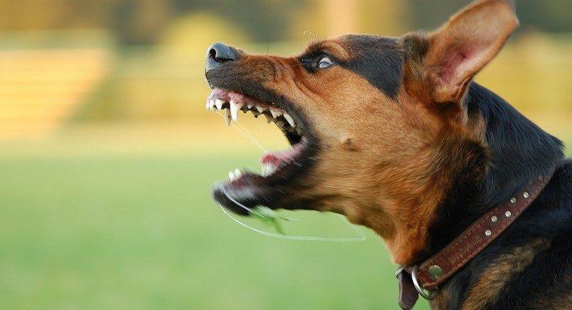 Cómo detener el comportamiento agresivo y socializar a su perro