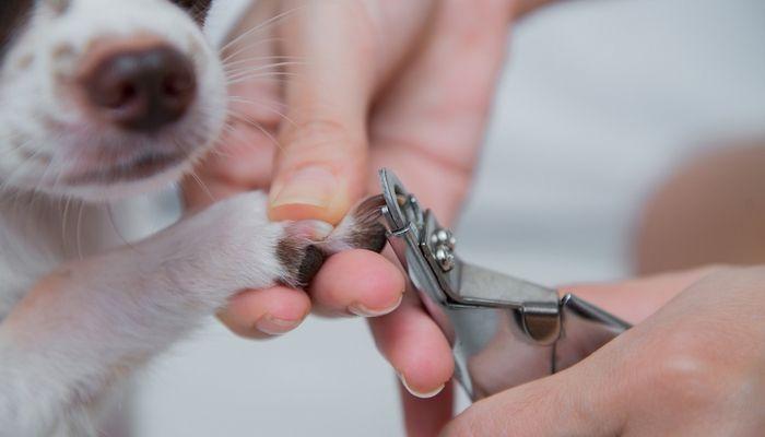 CГіmo detener el sangrado de uГ±as perro
