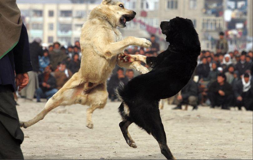 ¿Cómo detener la lucha de perros: mantener un ambiente seguro para sus mascotas