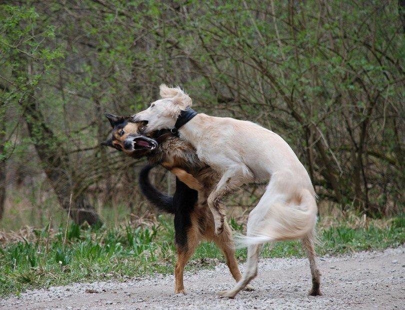 lucha de perros