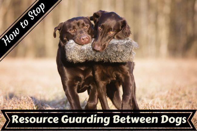 ¿Cómo parar los recursos que guarda la agresión entre los perros