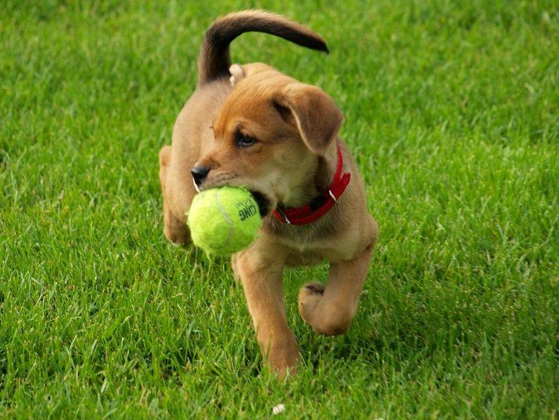 entrenamiento del perrito para ir a buscar