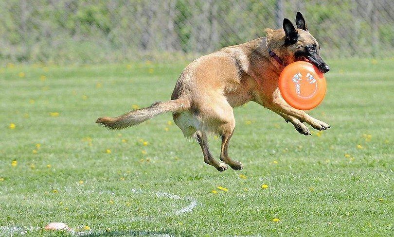 Perro traiga el disco volador