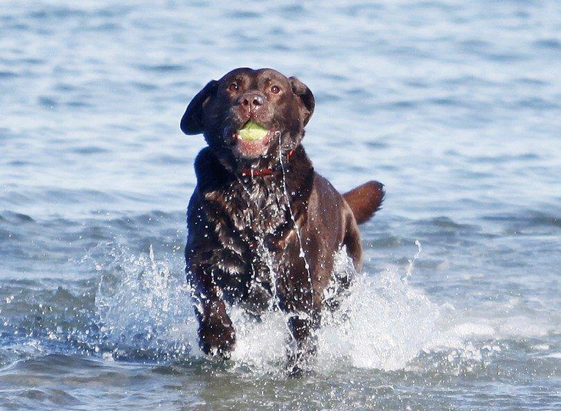 Labrador negro buscar a través del agua