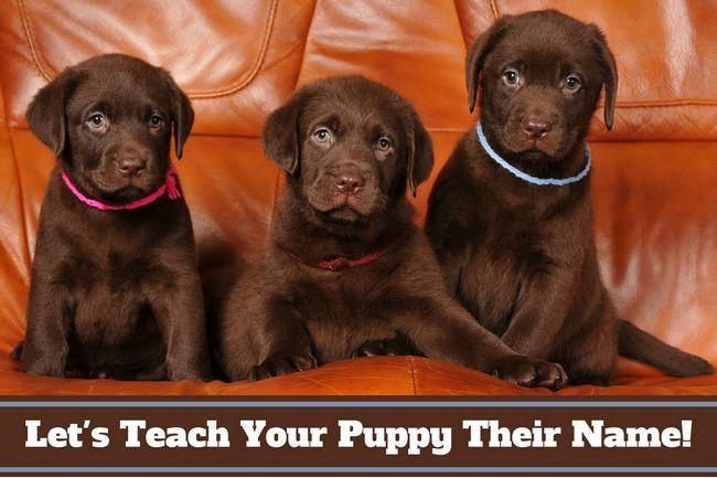 Cómo enseñar a un cachorro de su nombre - y la forma en la que debe administrarse