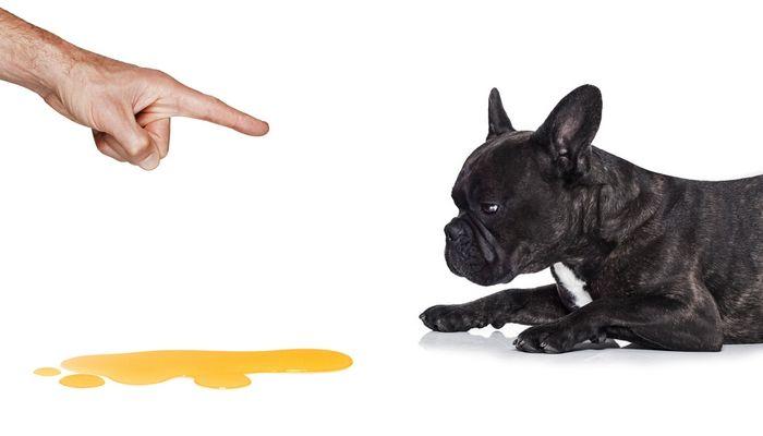 CГіmo entrenar a un cachorro WC