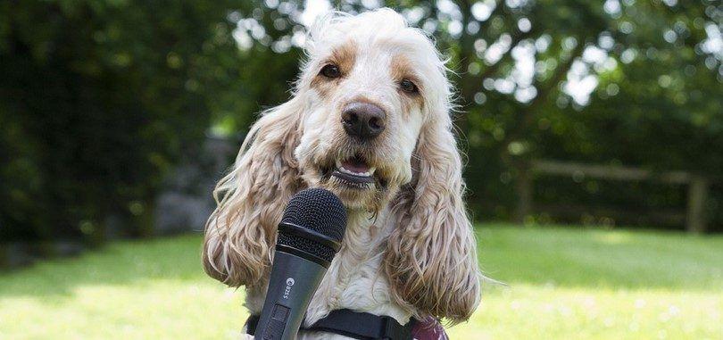 Perro con un micrófono para sordos para oír mejor