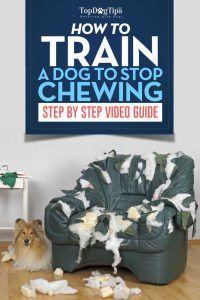 Cómo entrenar a un perro a dejar de masticar vídeo