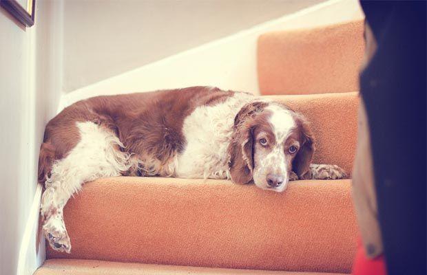 CГіmo entrenar a un perro que usar las escaleras