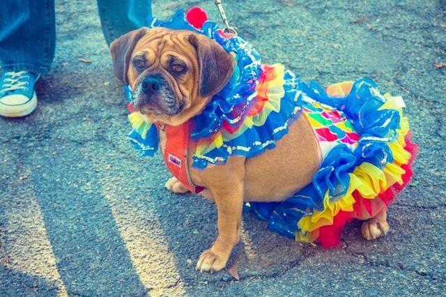 Cómo entrenar a su perro a usar un traje