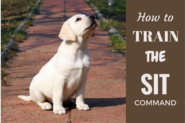 Cómo entrenar a su cachorro de laboratorio para sentarse