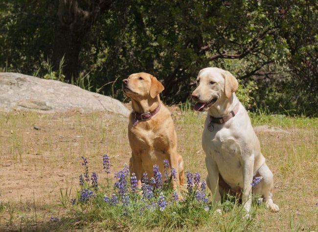 2 labradores sentados tranquilamente en un prado detrás de las flores azules