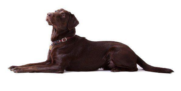 vista lateral de un labrador chocolate, por la recta sobre un fondo blanco