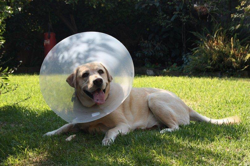 El tratamiento para las alergias del perro y la piel seca