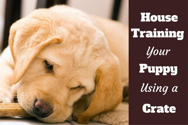 Cómo utilizar una caja para albergar a entrenar a un cachorro: Primer plano de un cachorro de laboratorio de mascar en una galleta para perros