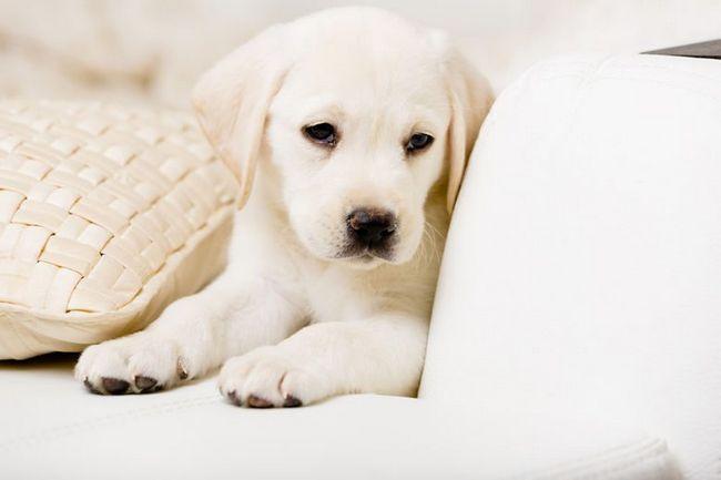 Cierre de blanco cachorro de labrador tendido en un sofá de cuero blanco