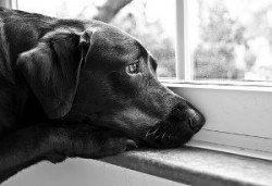 Cuando no cajón de su perro - perro triste mirando por la ventana