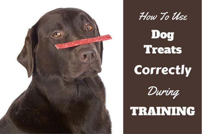 Cómo utilizar trata de perro para el entrenamiento escrito por un laboratorio de chocolate con una blanced en su nariz
