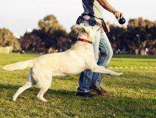 Un Labrador fmix mirando hacia arriba y funcionando después de que el juguete para masticar su entrenador está llevando a cabo.