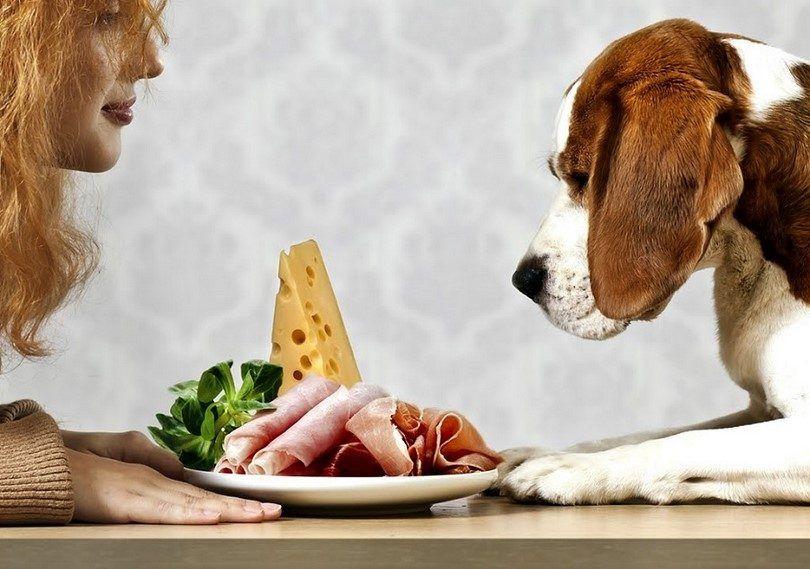 Perro quiere la alimentación humana
