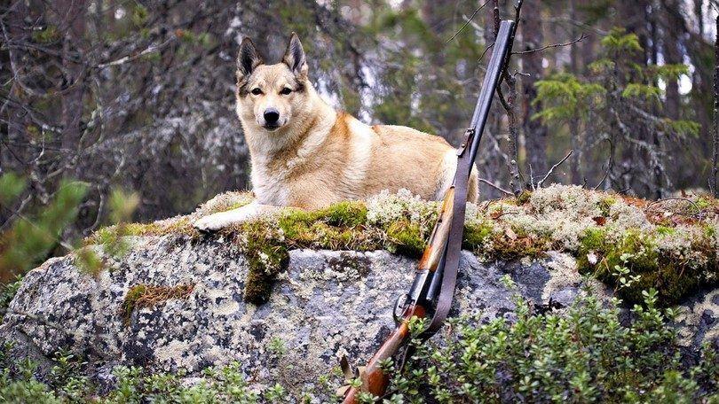 Entrenamiento del perro de caza: preparar destructor de intensa actividad al aire libre