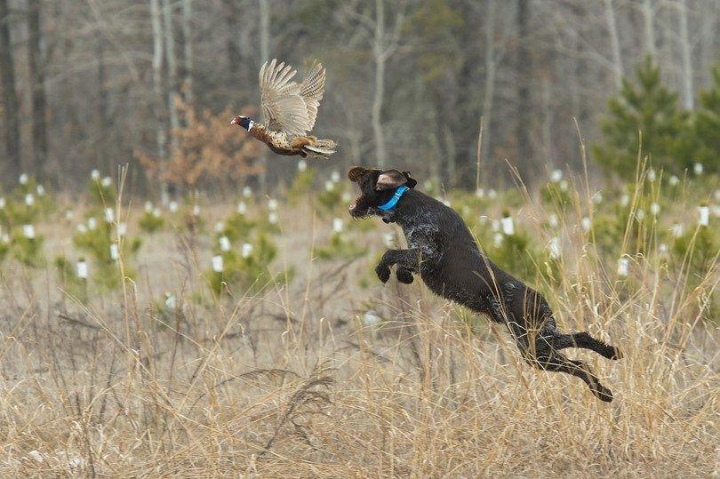 cazador de perros con experiencia