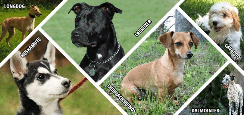 Razas de perros híbridos: características distintivas, ventajas y desventajas