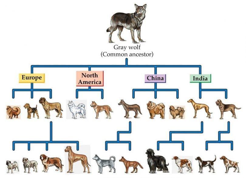 Ancestro y nuevos perros híbridos