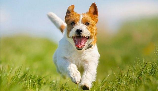 Razas de perros independientes: los aficionados al bricolaje del mundo canino