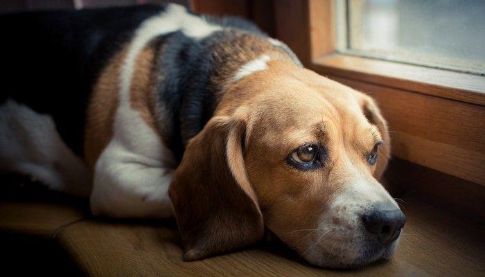 CГіmo lidiar con la ansiedad por separaciГіn en perros