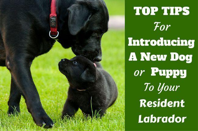 La introducción de un nuevo cachorro o un perro a su labrador
