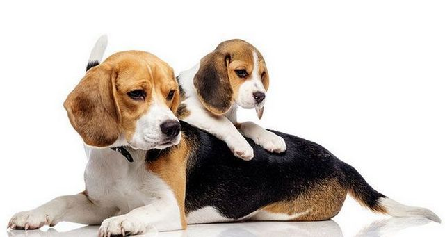 La introducción de cachorro para perros de edad avanzada