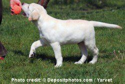 cachorro labrador amarillo jugando con una pelota