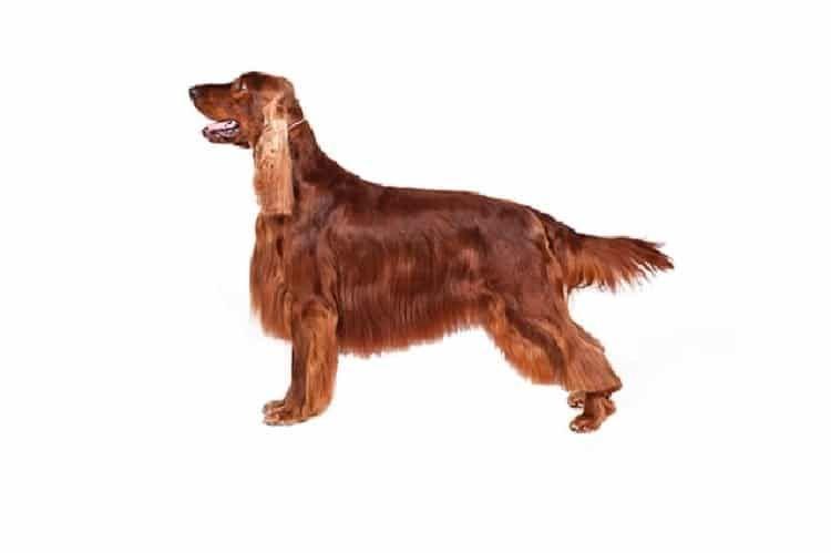 Perro del organismo irlandés