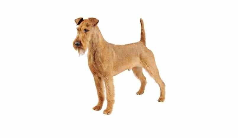 raza de perro Terrier irlandés